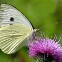 Heemtuin vlinder