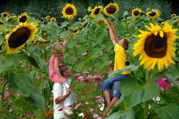 st-zonnebloemen