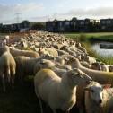 De schapen
