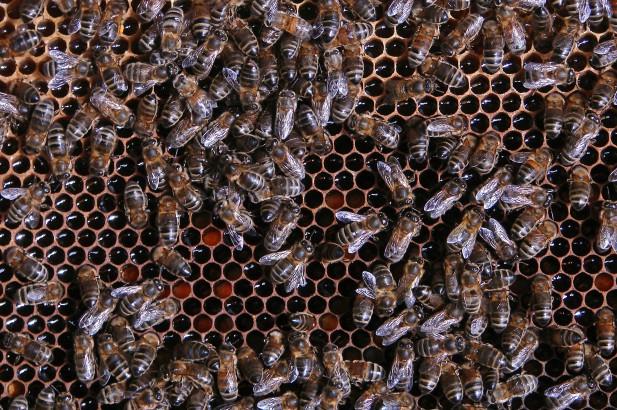 bijen op raat 1