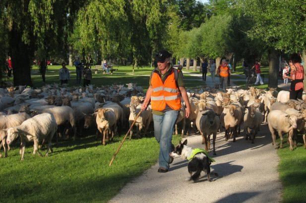 schapen Zaandam foto Tom Kisjes (5)