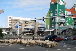 schapen Zaandam foto Tom Kisjes (6)