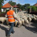 schapen Zaandam foto Tom Kisjes (9)