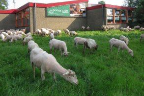schapen rond vrije school 29-05-18 klein formaat