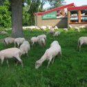 schapen rond vrije school 29 mei 2018 klein formaat