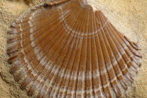 fossiele schelp foto Tom Kisjes ZNMC