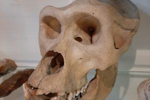 Gorillaschedel