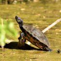 Schildpad heemtuin