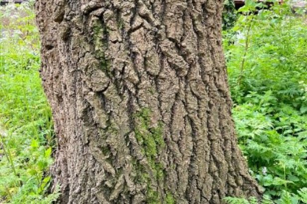 Witte abeel bruine bast